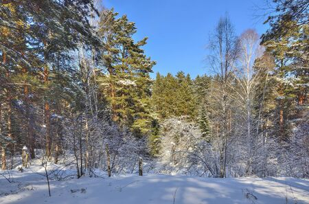 Winter landscape in sunny coniferous evergreen forest. Fairy tale of winter russian wood. Green pines, spruces, fir trees with fluffy snow covered. Frost and sun - healthy and clean air, beauty of nature