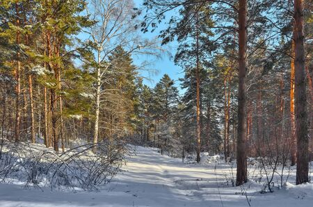 Winter landscape in sunny coniferous evergreen pine forest. Fairy tale of winter russian wood. Green pine trees with snow covered in sunlight. Frost and sun - healthy and clean air, beauty of nature
