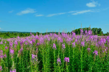 Summer meadow with blossoming pink fireweed flowers covered. Picturesque summer landscape - flowering Chamaenerion angustifolium or Epilobium angustifolium medicinal herb Zdjęcie Seryjne