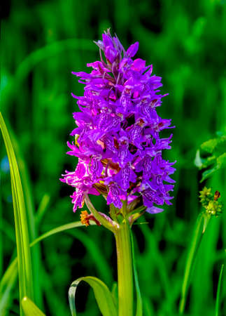 Blossoming purple wild orchid - perennial herbaceous plant (Orchis militaris) close up. Wild rare protected flower, growing on the wet meadow near the marsh of Western Siberia, Russia