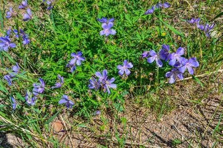 Purple flowers of Geranium meadow (Geranium pratense), or Crayfish meadow, or Meadow crane's-bill - flowering medicinal plant, the species of the genus Geranium, the family of geranium