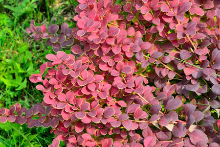 """Cultivar Thunbergs barberry twigs (Berberis thunbergii """"Coral"""") close up. Bright ornamental bush with vivid red-burgundy leaves with yellow border. Gardening or landscaping concept. Selective focus Stock Photo"""