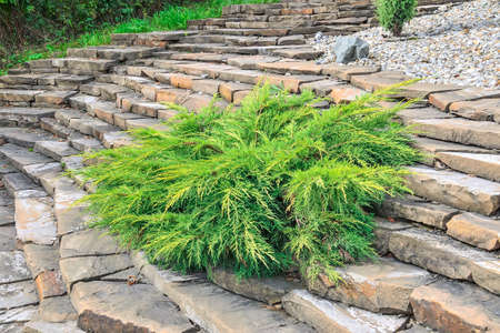 Juniper medium Gold Kissen - ornamental dwarf conifer for landscaping. Evergreen coniferous plant juniperus on stony steps of garden on hill slope. Decorative dwarf conifer for landscape design Zdjęcie Seryjne