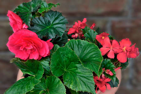 Bright red flowers of begonia tuberous or (Begonia tuberhybrida) - decorative large-flowered plant close-up on blurred backdrop. Can be grown both as a perennial garden plant and as an indoor.