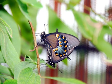 swallowtails: Pipevine Swallowtails Mating Stock Photo