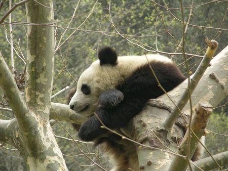 snoozing: Snoozing Panda in Wolong Preserve, Sichuan, China