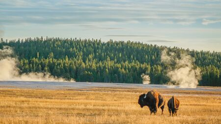 Yellowstone National Park, Wyoming, USA - September 14, 2015: Bison in Yellowstone meadow at sunset 에디토리얼