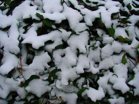 Snow & Ivy