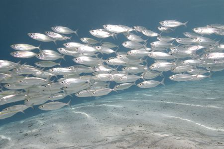 fish school: Silver fish in shallow water