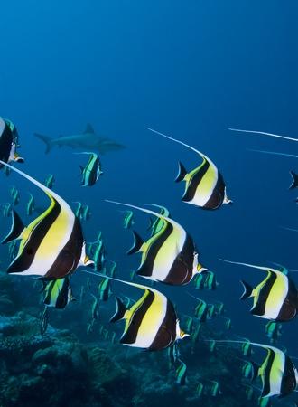 fish school: Shark and Tropical Fish