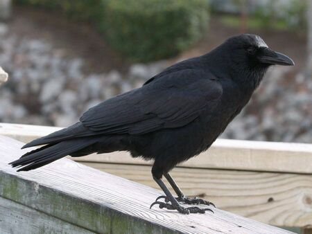 corvidae: American Crow (Corvus brachyrhnchos) Stock Photo
