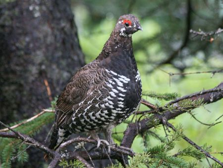 daniels: Spuce Grouse (Falcipennis canadenis)