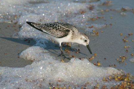 Sanderling (Calidris alba) Stock Photo