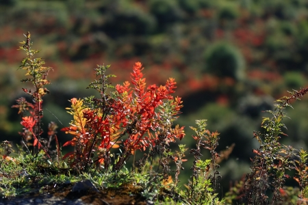 красноватый: Red and green wild bush in the autumntime, leaves turned to reddish colour, near Zhongdian-Shangri La-Gyelthang, Yunnan, China