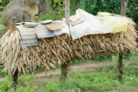 drying corn cobs: Heap of corncobs stacked around three poles and covered with raffia cloths and zinc sheets on the outskirts of Bandipur town-Tanahu district-Gandaki zone-Nepal  Stock Photo