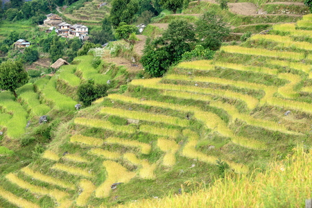 an agricultural district: Terraced rice fields between Tolka and Landruk villages on the Annapurnas Tour trekking route through the foothills of the Himalayas. Kaski district-Gandaki zone-Nepal. Stock Photo