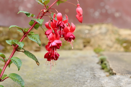 townhome: Bundle of fuchsia flowers in the courtyard of a traditional nepalese gurung townhome. Ghandruk village on the Annapurnas Tour trekking route through the foothills of the Himalayas-Kaski district-Gandaki zone-Nepal.