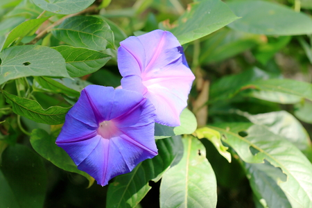 pokhara: Lilac colored campanula flower beside the way down from Ananda Hill to the 4.43 m2-784 ms.high Phewa tal-lake