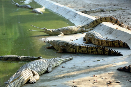 rearing of fish: Breeding young gharials -gavialis gangeticus- being reared and raised to an age of 6-9 years under protection of the Gharial Conservation Project. Chitwan Park and distr.-Narayani zone-Nepal.