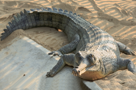 rearing of fish: Breeding young gharial -gavialis gangeticus- being reared and raised to an age of 6-9 years under protection of the Gharial Conservation Project.