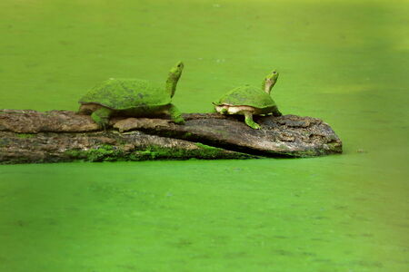 scum: Couple of asian leaf turtles -cyclemys dentata- on a wooden log over green scum covered pond Stock Photo