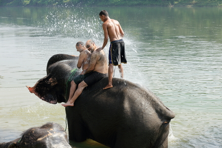 quadruped: CHITWAN, NEPAL - OCTOBER 14: Indian elephants -elephas maximus indicus- take a bath with tourists and mahout after a work day on safari through the grasslands that border the Rapti river in the bufferzone off the Chitwan Nnal.Park in the Terai area on Oct