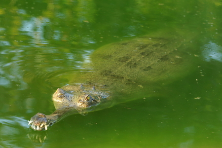 fish rearing: Breeding young gharial -gavialis gangeticus- swimming in green water in the bufferzone off the Chitwan Nnal.Park under protection of the Gharial Conservation Project. Chitwan Park and distr.-Narayani zone-Nepal.