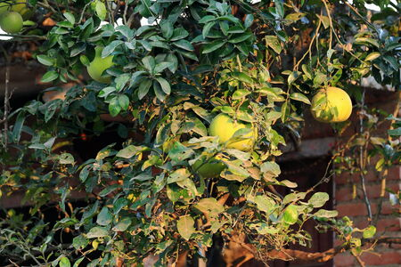townhome: Orange tree with unripe fruits-some yellow some green. Front garden of a townhome near the Godawari Village Resort. Godawari-Lalitpur distr.-Bagmati zone-Nepal.