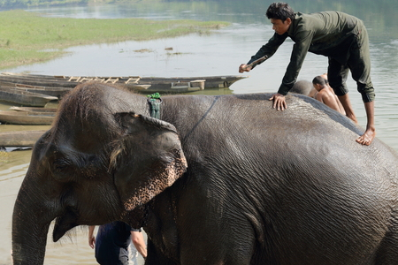 oc: CHITWAN, NEPAL - OCTOBER 14: Indian elephant -elephas maximus indicus- takes a bath with tourists and mahouts after a work day on safari through the grasslands that border the Rapti river in the bufferzone off the Chitwan Nnal.Park in the Terai area on Oc