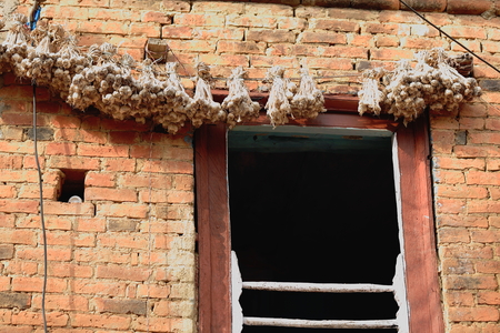 an agricultural district: String with bundles of garlic bulbs hanging to get sun dried on the red brick facade of an old newar style house in Panauti-Kavrepalanchok dstr.-Bagmati zone-Nepal.
