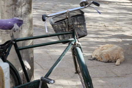 lamaism: Long haired dog sleeping on the floor beside an old iron bicycle leaning on concrete post in the 1419 AD.founded Sera-Wild Roses buddhist monastery of the Gelugpa-Yellow Hat order on the slope of Pubuchok mountain. Lhasa pref.-Tibet A.R.-China. Stock Photo