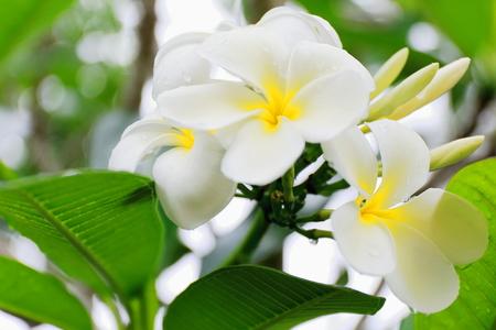 Tiar? flowers-Tahitian Gardenia-Gardenia Taitensis showing its white color among the green leaves of the plant.s foliage. Lonnoc Beach-Espiritu Santo Island-Vanuatu. Imagens