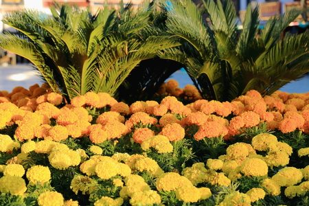 palmetto: Yellow and orange colored flower bunches on plantpots along with palmetto trees. Street in the Barkhor area-Lhasa city and pref.-Tibet A.R.-China. Stock Photo