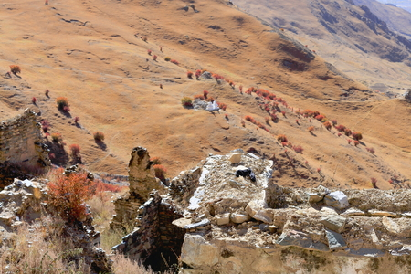 falltime: Dried reddish shrubs in the autumnocher yellowish pasturessmall white stupas on the mountain slope. Drak Yerpa monasterycomplex of more then 80 meditation caves at 4885 ms.alt. Lhasa pref.Tibet.