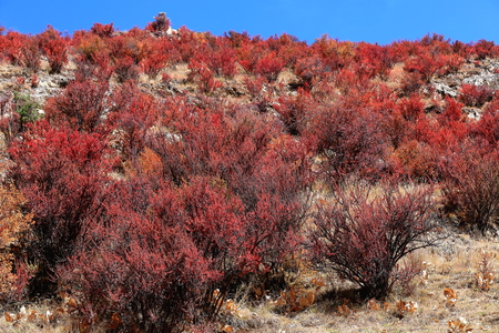 orison: Reddish shrubs covering the mountain slope on which stands the Drak Yerpa monasterycomplex of more than 80 meditation caves at 4885 ms.alt. LhasaTibet A.R.China.