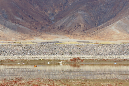 badland: Ruddy shelduck-ngang ser-ngur pa-chi ma ya birds or tadorna ferruginea on the banks of a branch of the Yarlung Tsangpo river. Hamlet near Shigatse city-county and pref.-Tibet. Stock Photo