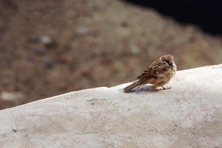 sylvan: Sparrow perched upon white parapet of building on the grounds of the 1073 AD-Khon Konchog Gyalpo founded North Seat of the ancient monastery. Ponpori hill-right bank of Chong Chu-river. Sakya-Tibet.