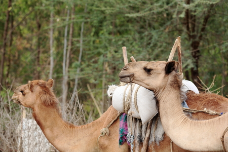 sunday market: Dromedary camels for the transport of trade goods in the sunday market where the oromo-amhara-afar peoples meet. Senbete-Oromia zone-Amhara region-Ethiopia.