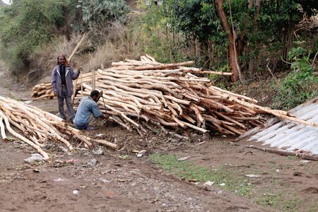eucalyptus trees: DEGAN, ETHIOPIA-MARCH 25: Two men work with a bunch of eucalyptus trees logs in the local khat market on March 25, 2013. Amhara region-Ethiopia.