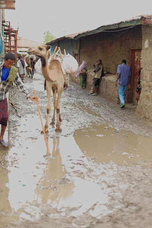 herder: GERBA, ETHIOPIA-MARCH 25: Herder leads a dromedary camel through the muddy streets of town coming back from the khat market in neighboring Degan town on March 25, 2013. Amhara region-Ethiopia. Editorial