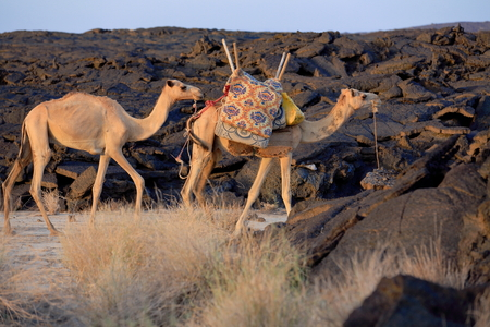 sleeping pad: Afar dromedary camels loaded with everything necessary for the expeditions visiting the Erta Ale-Smoking Mountain volcano on their way up to the caldera. Danakil desert-Afar region-Ethiopia.
