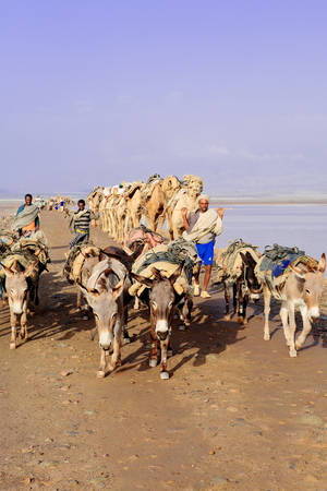 dromedaries: DANAKIL, ETHIOPIA-MARCH 28: Afar herders lead a caravan of dromedaries and donkeys from Hamed Ale hamlet to Lake Assale to load salt blocks and transport them to market-Berahile town on March 28, 2013