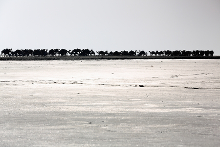 salt marsh: Afar herders lead caravans of dromedaries and donkeys from Hamed Ale hamlet to Lake Assale saltern-load salt blocks-transport them to market-Berahile town through Danakil desert. Afar region-Ethiopia.