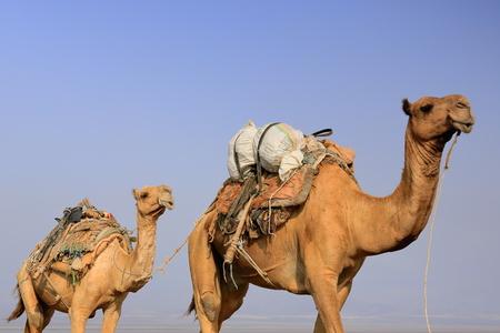 saddle camel: Afar herders lead caravans of dromedaries and donkeys from Hamed Ale hamlet to Lake Assale saltern-load salt blocks-transport them to market-Berahile town through Danakil desert. Afar region-Ethiopia.