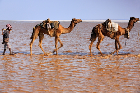 dromedaries: DANAKIL, ETHIOPIA-MARCH 28: Afar herder leads a caravan of dromedaries and donkeys from Hamed Ale hamlet to Lake Assale to load salt blocks and transport them to market-Berahile town on March 28, 2013 Editorial