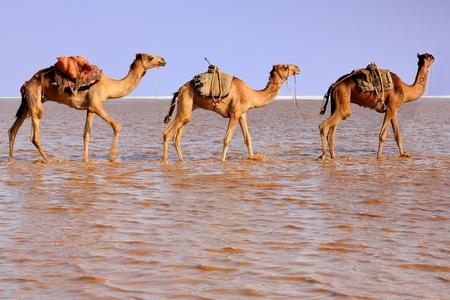gravel pit: Afar herders lead caravans of dromedaries and donkeys from Hamed Ale hamlet to Lake Assale saltern-load salt blocks-transport them to market-Berahile town through Danakil desert. Afar region-Ethiopia.