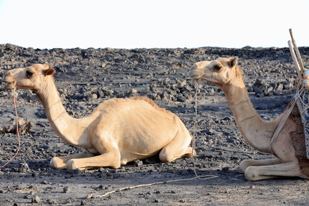 one humped: Afar dromedary camels waiting to be loaded with everything necessary for the expeditions visiting the Erta Ale-Smoking Mountain volcano on March 26, 2013. Afar region.