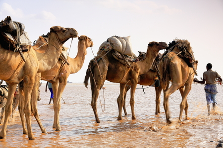 herder: DANAKIL, ETHIOPIA-MARCH 28: Afar herder leads a caravan of dromedaries and donkeys from Hamed Ale hamlet to Lake Assale to load salt blocks and transport them to market-Berahile town on March 28, 2013 Stock Photo