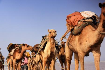 dromedaries: Afar herders lead caravans of dromedaries and donkeys from Hamed Ale hamlet to Lake Assale saltern-load salt blocks-transport them to market-Berahile town through Danakil desert. Afar region-Ethiopia.