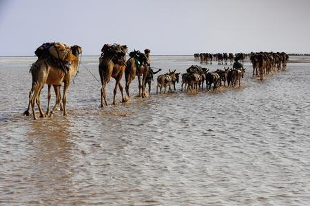 dromedaries: Afar herders lead caravans of dromedaries and donkeys from Hamed Ale to Lake Assale saltern-load salt blocks and transport them to market in Berahile town through Danakil desert. Afar region-Ethiopia.